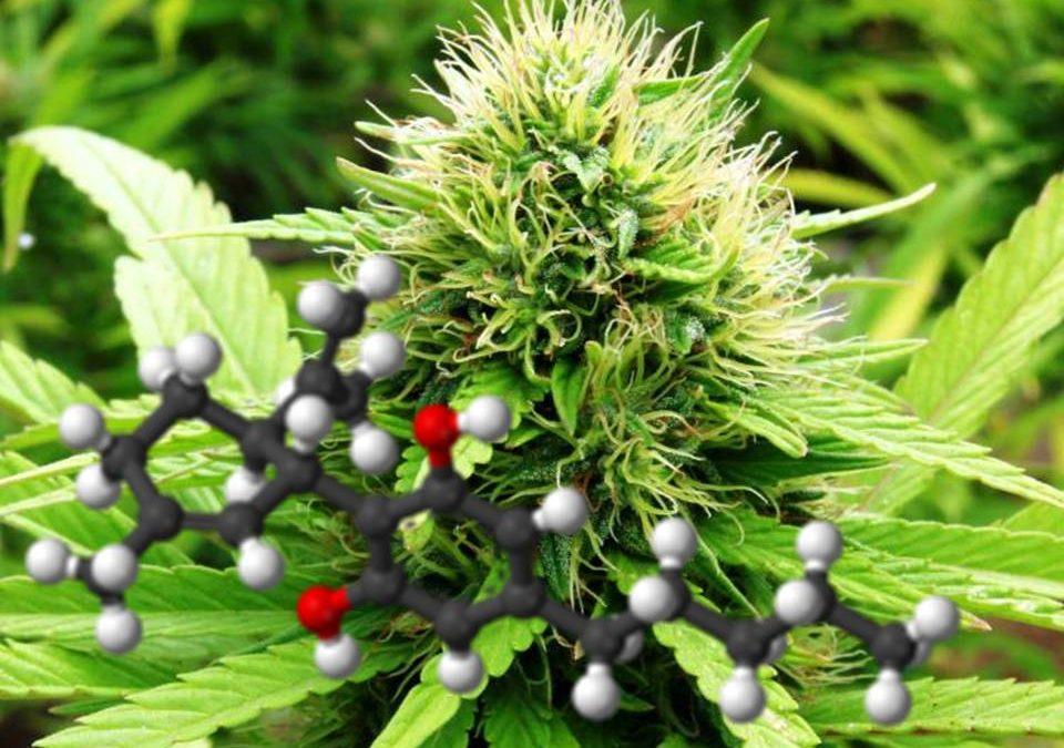 Cultivo de Cannabis medicinal. Factores distintivos.